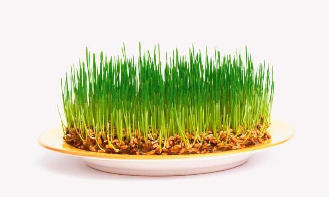 масло из проростков пшеницы