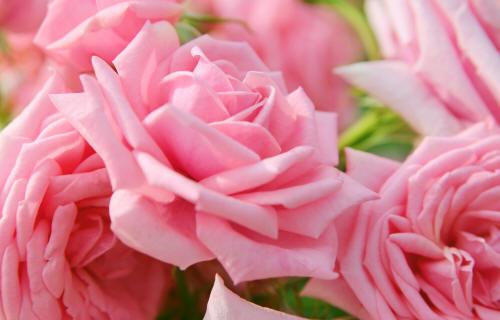 сбор чайной розы